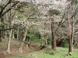 Sakurakomiti