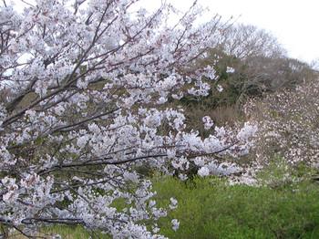 Sakurahana04